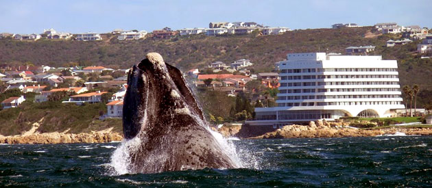 Ocean Safris, Marine Tours, Plettenberg Bay, Garden Route, Whale watching, dolphin watching, cape fur seals